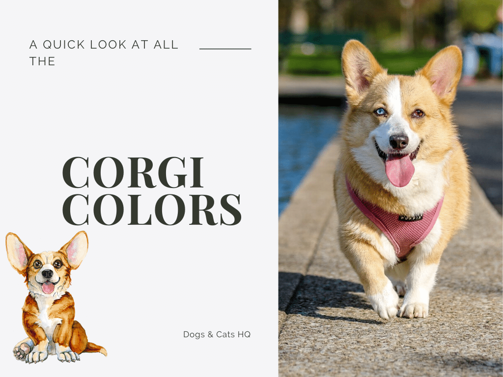 Everything about Corgi Colors