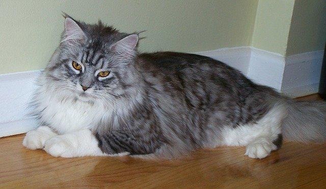 Cat Breeds - Maine Coon Cat
