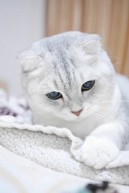 Cat Breeds - Scottish Fold