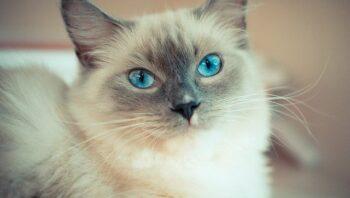 Cat Breeds - Ragdoll Cat