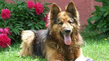 dogs similar to german shepherd