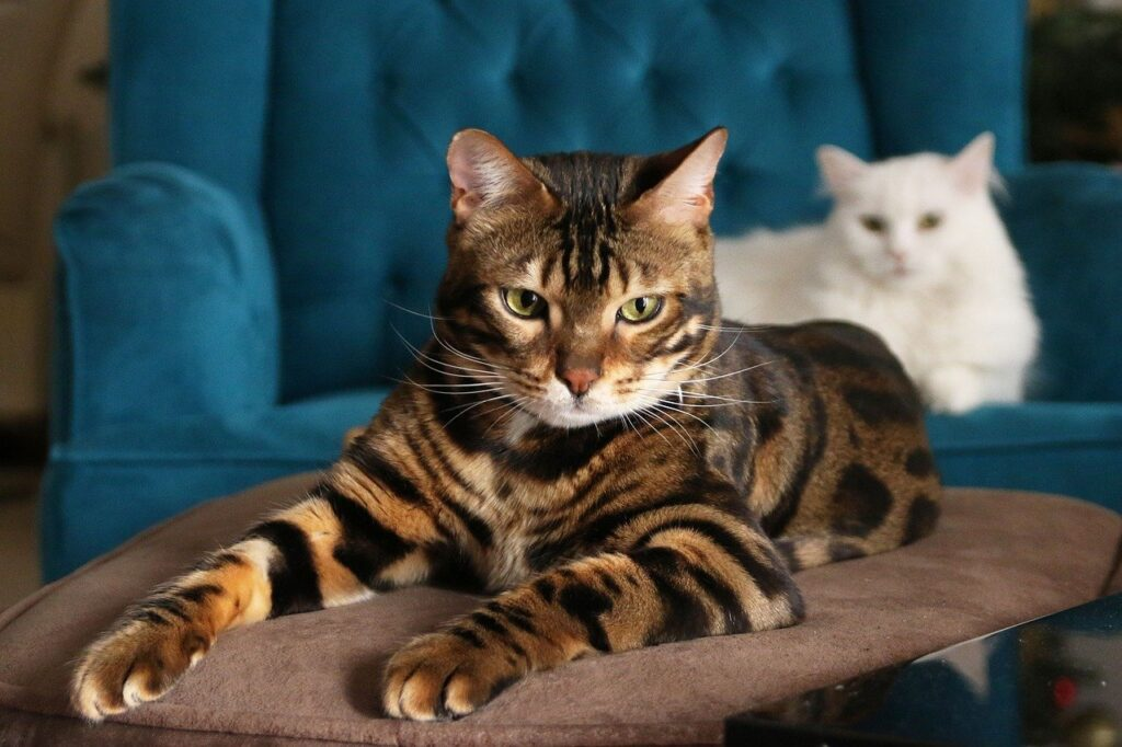 The majestic Bengal cat