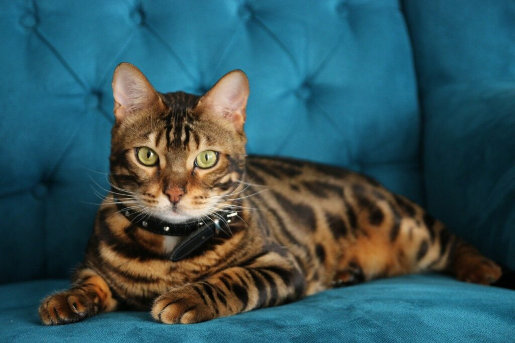 The Bengal Cat