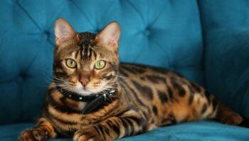 The majestic Bengal cat