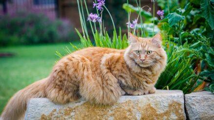 maine coon cat - 15 facts (1) -dogsandcatshq.com