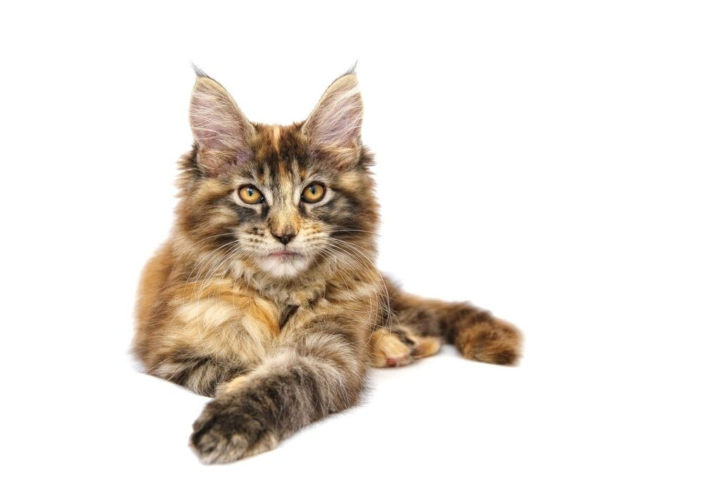 Maine Coon Cat - 15 fascinating facts that you should know
