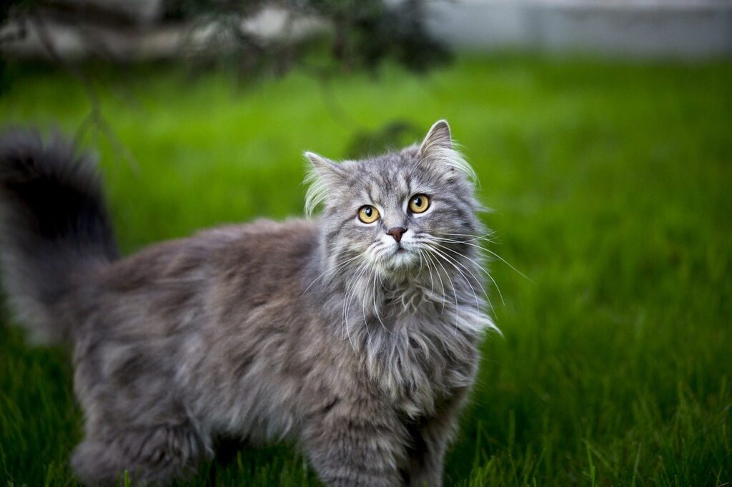 maine-coon-cat-15-facts-dogsandcatsqh.com_