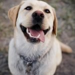 British Labrador