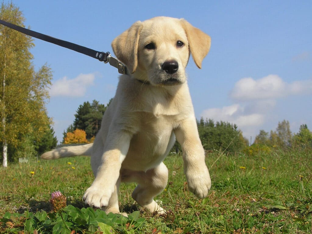 How to train a puppy to walk on a leash - 10 effective tips