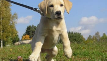 How to train a puppy to walk on a leash
