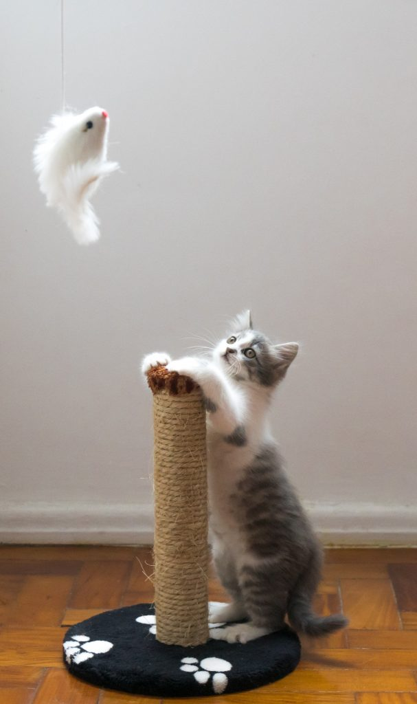 Kitten play and exercise requirements