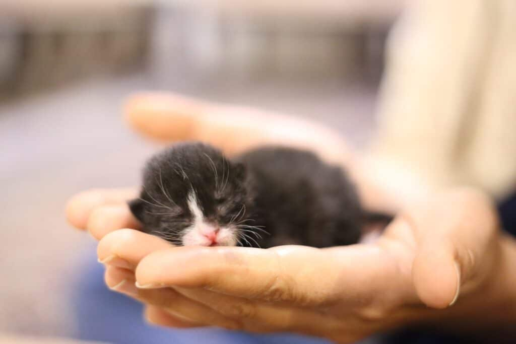 How to litter train a kitten without a mother