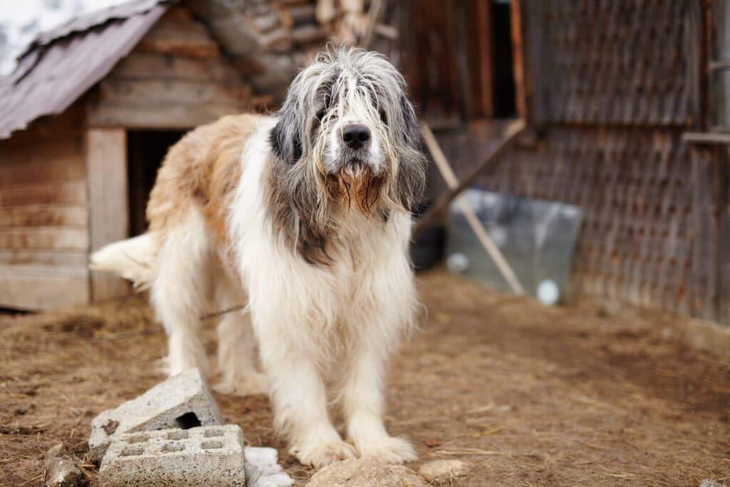 dogs similar to German Shepherd.
