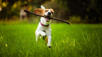 dog running with a stick in its mouth