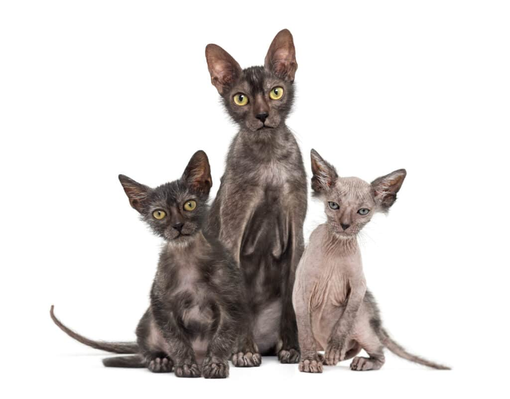 Wolfcat breed or Lykoi cat