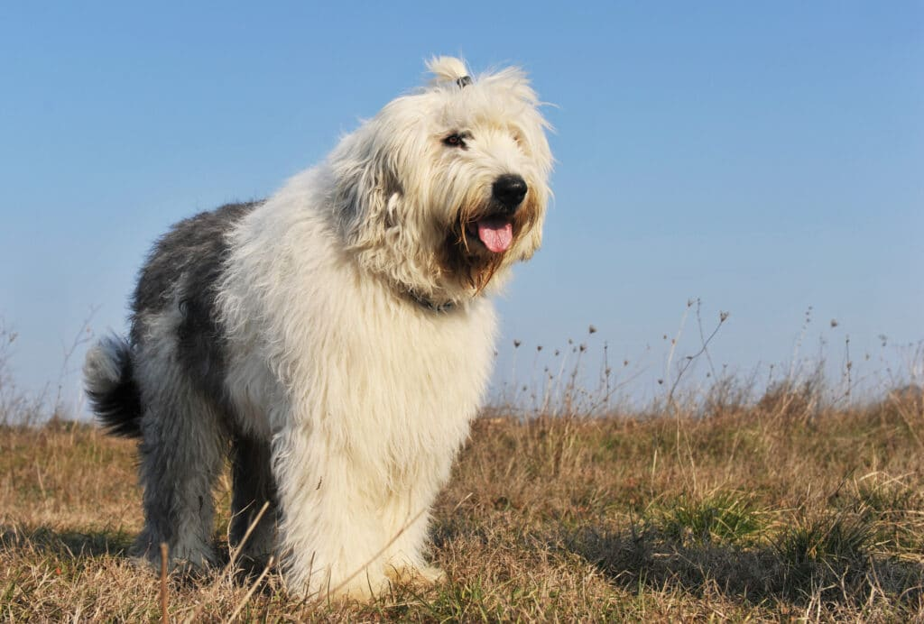 Purebred Old English Sheepdog in a field