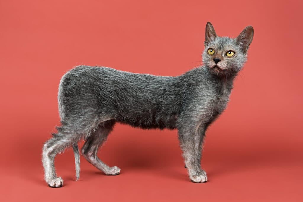 Lykoi Kitten, 6 Months
