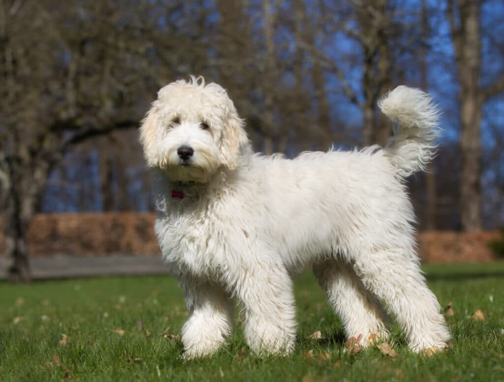 The Labradoodle, a very popular doodle cross breed