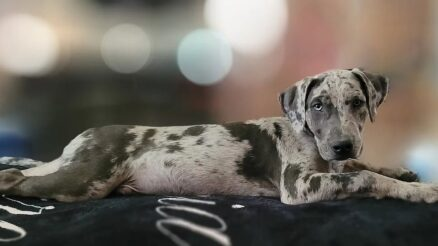 Catahoula mixed with Lab: Meet the amazing Labahoula
