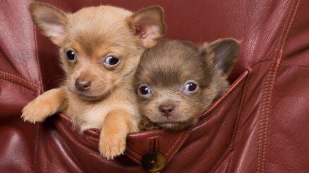 Pocket Puppies