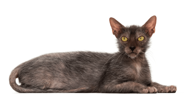 Wolfcat breed-Lycoi cat